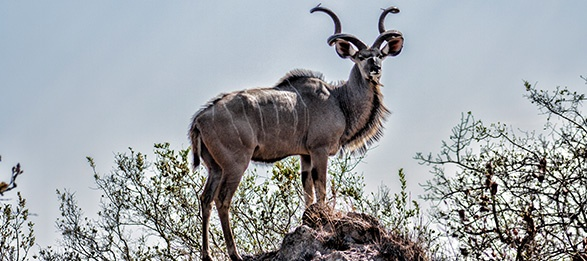 Image of a horned animal looking in the distance